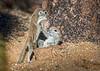 Round Tailed Ground Squirrel Babys