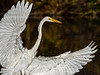 Greater Egret OPTO