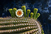 Saguaro Flower Study OPTO