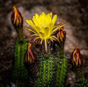 Yellow Echinopsis