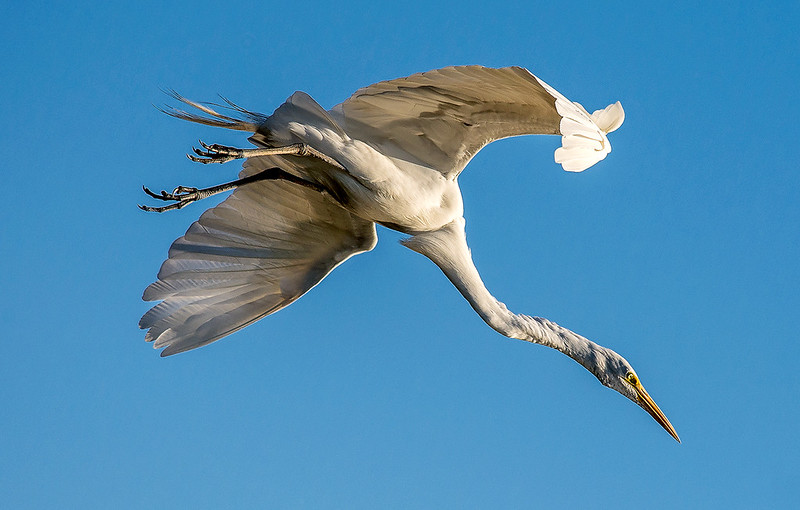 Great Egret Fighter Jet