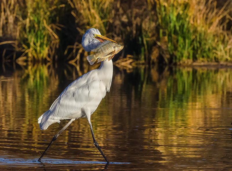 Great Egret with Talapia