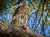 Coopers Hawk OPTO