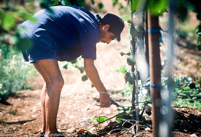 Joel, a volunteer from the United Kingdom, trims back brush in the kiwi fields.