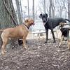 ROCKY (french mastiff), PANZER (great dane pup), MADDIE (stockdog)