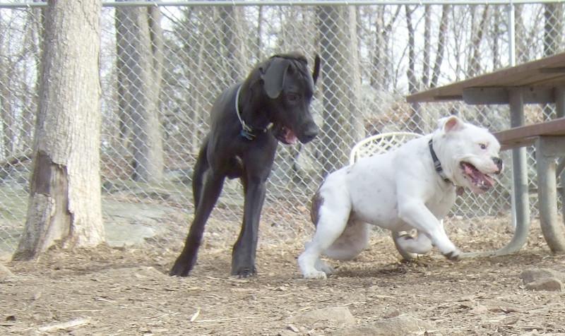 PANZER  (great dane pup), ROSCO (bulldog pup) CHASE