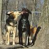 maddie kiss black lucy pitbull ossining