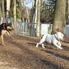 CADEN, ROSCO (bulldog pup)