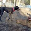 PANZER (great dane pup), ROCKY(french mastiff)