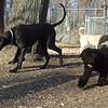 PANZER (great dane pup), NEWMAN (carolina dog, dingo), STORM (portuguese water dog)