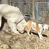 MUMBLES (bulldog), DEEGAN (labradoodle)