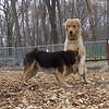 WILLIE (golden retriever), Maddie (indiana stockdog)  (04/1707)