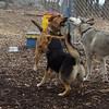 BUDDY (shepherd), SIMBA (husky), MADDIE (stockdog)
