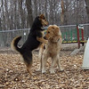 WILLIE (golden retriever), MADDIE (indiana stockdog)