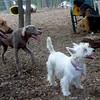 ISABELLA ( west highland terrier) (triumphant)