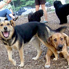 BUFFY(ridgeback mix), MADDIE (indiana stockdog) PLAYMATES