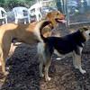 DUTCH (ridgeback mix), MADDIE (indiana stockdog)