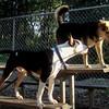BUD (pitbull mix), MADDIE (indiana stockdog)