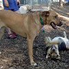 BUFFY (Ridgeback),  MADDIE (stockdog) PLAYMATES