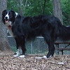 Barclay ( border collie)