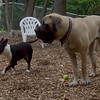 Rocky (Eng.Mastiff pup), Cosmo (bull terrier)