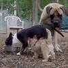 Cosmo, Rocky (Eng.Mastiff), Lemmy