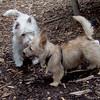 Lemmy (cairn pup), isabella