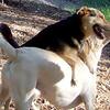 BARNI (yellow lab girl), MADDIE (indiana stockdog) PLAYMATES