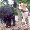 MOBY (portuguese water dog), MOLLY (beagle pup)