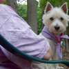 ISABELLA (west highland terrier)