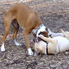 Boots & Rocky ( puggle ) 2