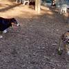 FOXI (shiba inu),  OLIVER  (australian shepherd pup)