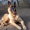 ERASMUS ( german shepherd ) 1