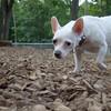 SUGAR (Chihuahua)