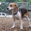 JEETER (beagle, july 5)