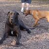 ebberston (ridgeback pup),  harley (great dane)