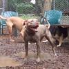 LUCY (pitbull) ( 07/11/07) mud