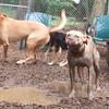BUFFY(ridgeback mix), LUCY (pitbull)
