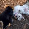 ISABELLA (west highland terrier), MADDIE (indiana stockdog)