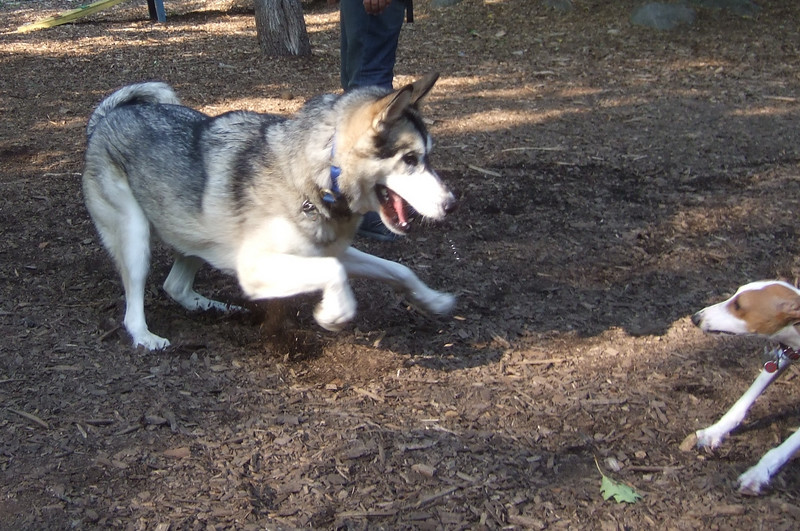 AJAX (italian greyhound) & SIMBA.