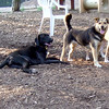LUCY (pitbull), Maddie (indiana stockdog), Mojo (hound mix girl) PLAYMATES