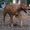 EBBERSTON (ridgeback pup)