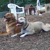 DAKOTA  (golden retriever), LUCY (pitbull)