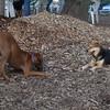 MADDIE (indiana stockdog), EBBERSTON (ridgeback pup)