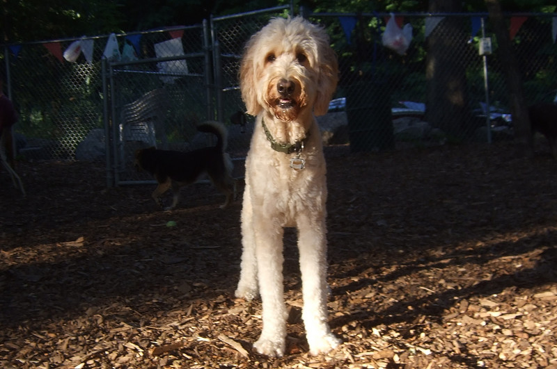 BAILEY (goldendoodle)