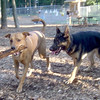 DUTCH (ridgeback mix) , STRIDER (german shepherd)