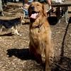 DAKOTA (golden retriever), MADDIE (indiana stockdog) PLAYMATES