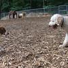 BERNIE (golden or lab doodle or poodle), CHICO (beagle)