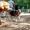 CHICO (beagle)
