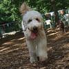 BERNIE (golden or lab doodle or poodle)